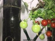 Neden idrarda domates üretiliyor?