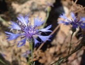 Peygamber Çiçeklerinin yurdu  Çatalca